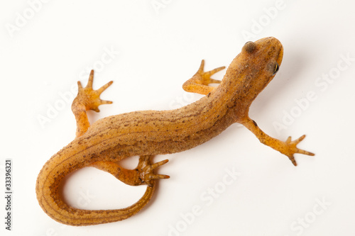 newt isolated on white Wallpaper Mural