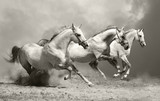 białe konie w kurzu - 33440372