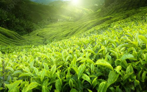 Fotografia Tea plantation Cameron highlands, Malaysia