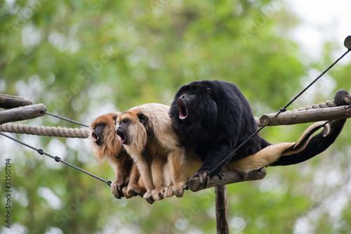 Foto op Plexiglas Aap howler monkeys
