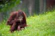 canvas print picture cute orangutan