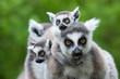 canvas print picture - ring-tailed lemur with her cute babies