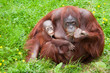 Leinwandbild Motiv orangutan with her cute baby