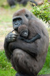 canvas print picture - gorilla and her baby