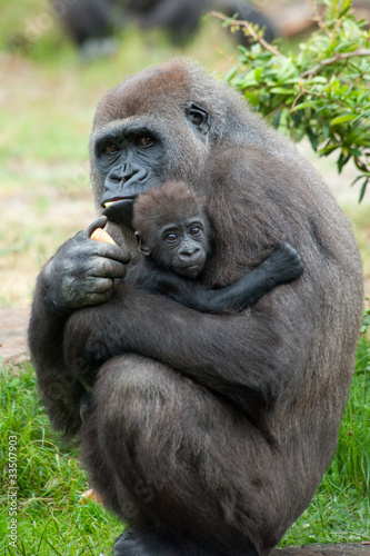 gorilla and her baby Poster