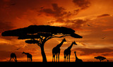 Fototapeta Sawanna - herd of giraffes in the setting sun
