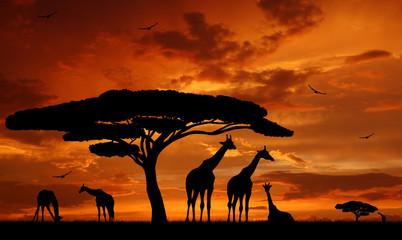 Fototapeta herd of giraffes in the setting sun
