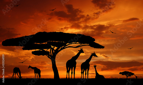 Fotografie, Obraz  herd of giraffes in the setting sun