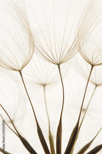 Poster Dandelions and water dandelion seeds