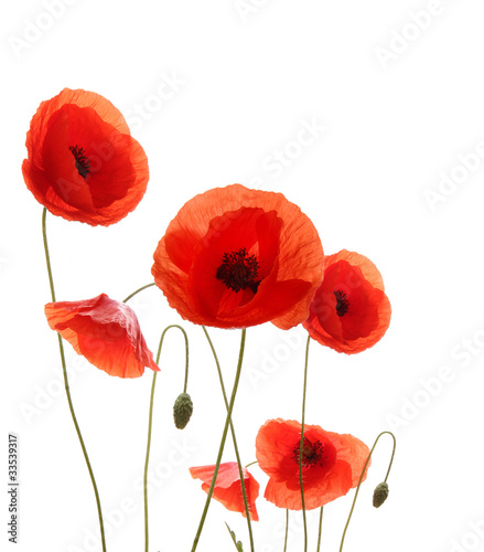 Fotobehang Poppy Isolated blooming poppy flowers on white background