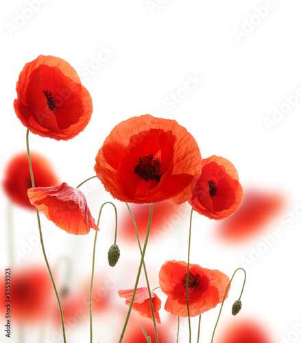 Isolated blooming poppy flowers on white background - fototapety na wymiar