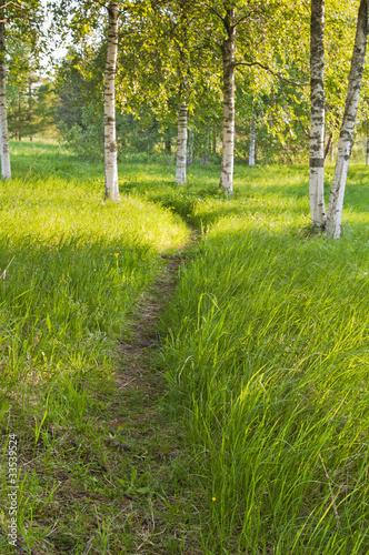 Foto op Aluminium Berkbosje birch forest
