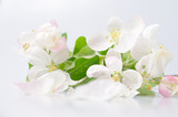Cherry tree blossom on a white background