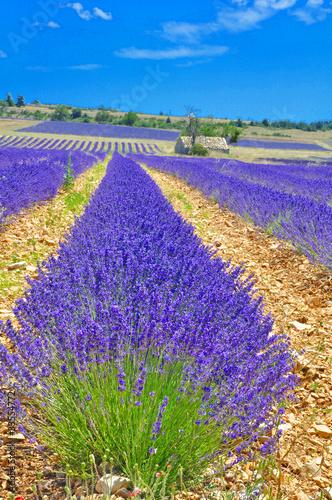 Tuinposter Lavendel Ferrassières 25