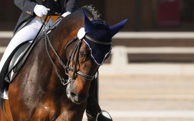 Dressage: portrait of bay horse