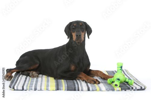 Fotografia dobermann costaud et ses jouets