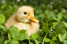 Baby Duckling In A Field Of Cl...