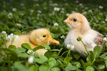 Baby Chick And Duckling In A Field Of Clover