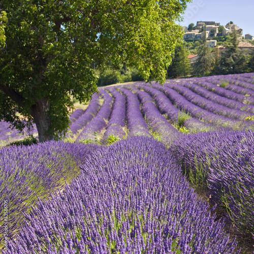 Foto op Aluminium Lavendel Champ de lavande à Vachères