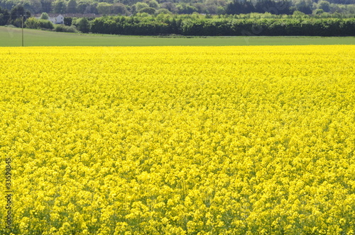 Fotobehang Zwavel geel Rape Field