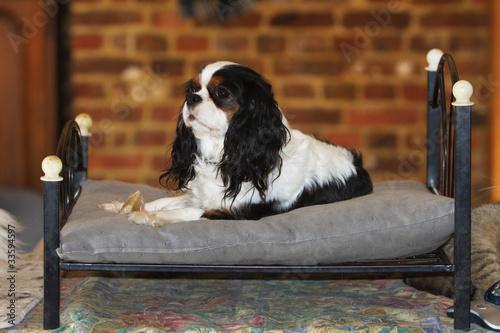 Fotografie, Tablou  cavalier king Charles confortablement installé sur un lit