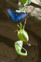 Blue Morpho Butterfly On Carni...