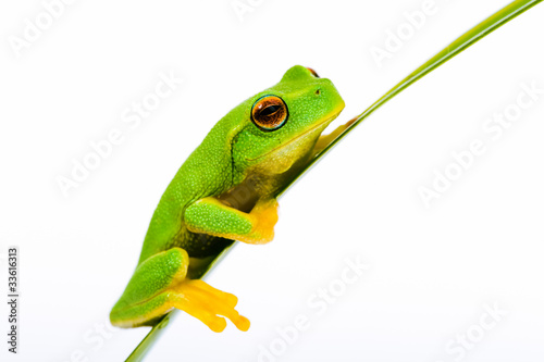 Small green tree frog sitting on grass Wallpaper Mural