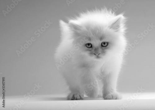 Obraz Ładny biały kotek - fototapety do salonu