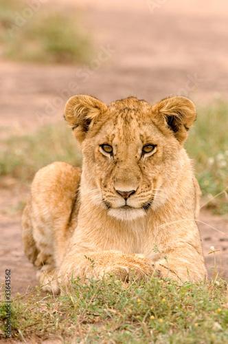 Fototapeta Lioness obraz na płótnie