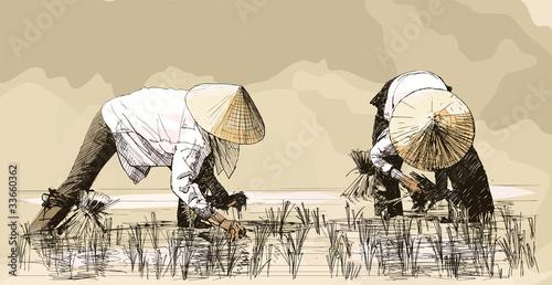 Photo sur Toile Art Studio Two women harvesting rice in asia