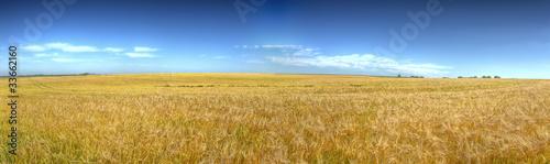 HDR panoramique de champ de blé