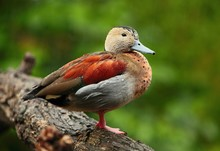 TheRinged Teal Duck