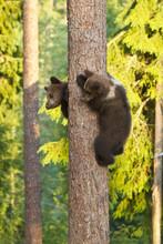 Two Brown Bear Cubs (Ursus Arctos) Climbing A Tree