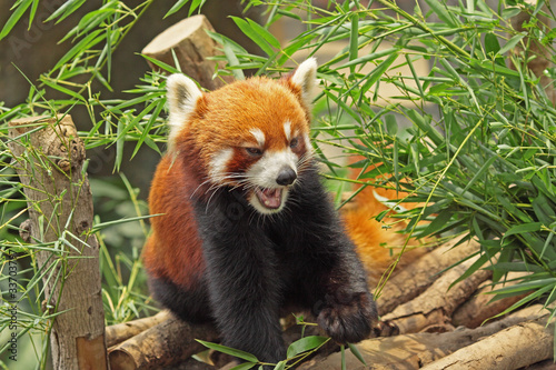 Red Panda Fototapet