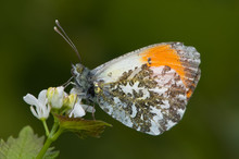 Orange Tip Butterfly  With Gre...