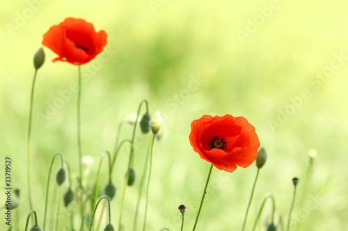 Fototapety, obrazy: Poppy flowers