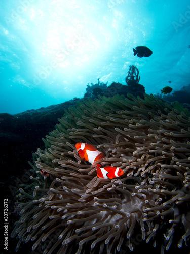 Photo  Blue ocean clown fish