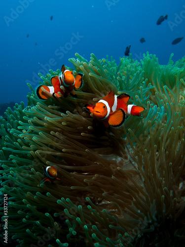Photo  Nemo fish Underwater