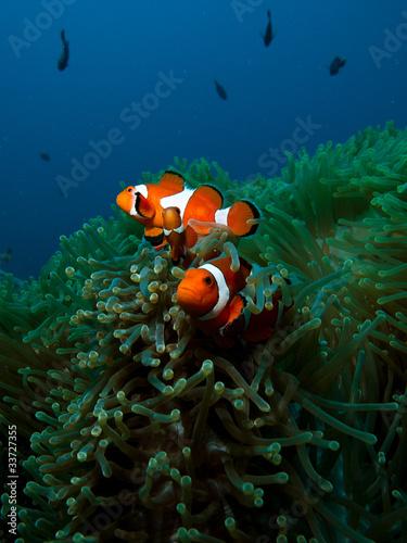 Photo  Two orange clown fish