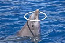 Dolphin Plays With Ring