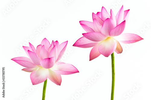 Twain Pink Water Lily Flower Lotus And White Background