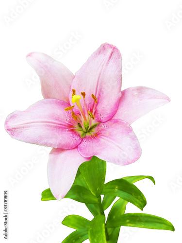 Tuinposter Azalea royal lily flower