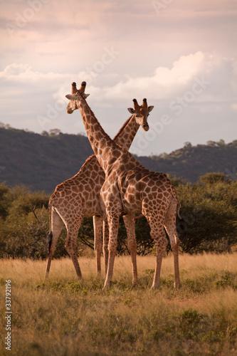 Fotomural Giraffen in der Wüste