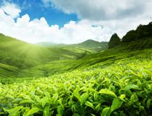 Tea Plantation Cameron Highlan...