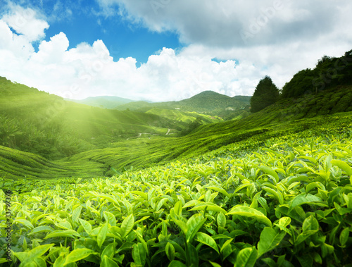 Deurstickers Lime groen Tea plantation Cameron highlands, Malaysia