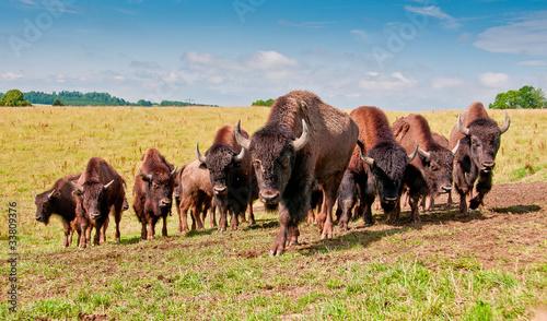La pose en embrasure Bison Kleine Herde junger Bisonbullen