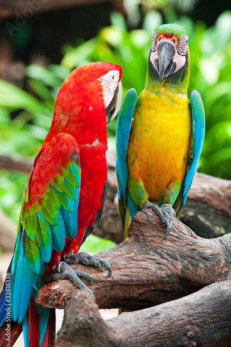 Fototapety, obrazy: colorful couple macaw sitting in a tree