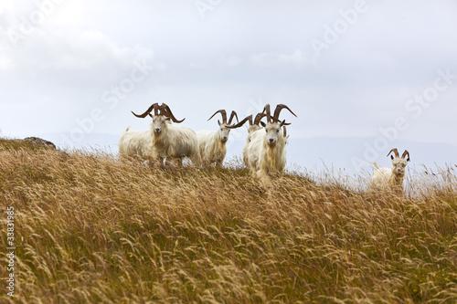 Kashmir goats, North Wales
