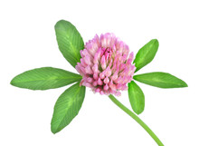 Red Clover Isolated