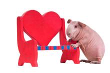 Guinea Pig Climbing On Heart Shaped Bench